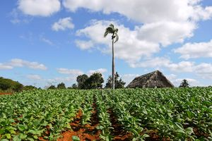 Piantagioni di tabacco a Viñales