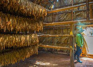 Plantaciones de tabaco, Valle de Viñales
